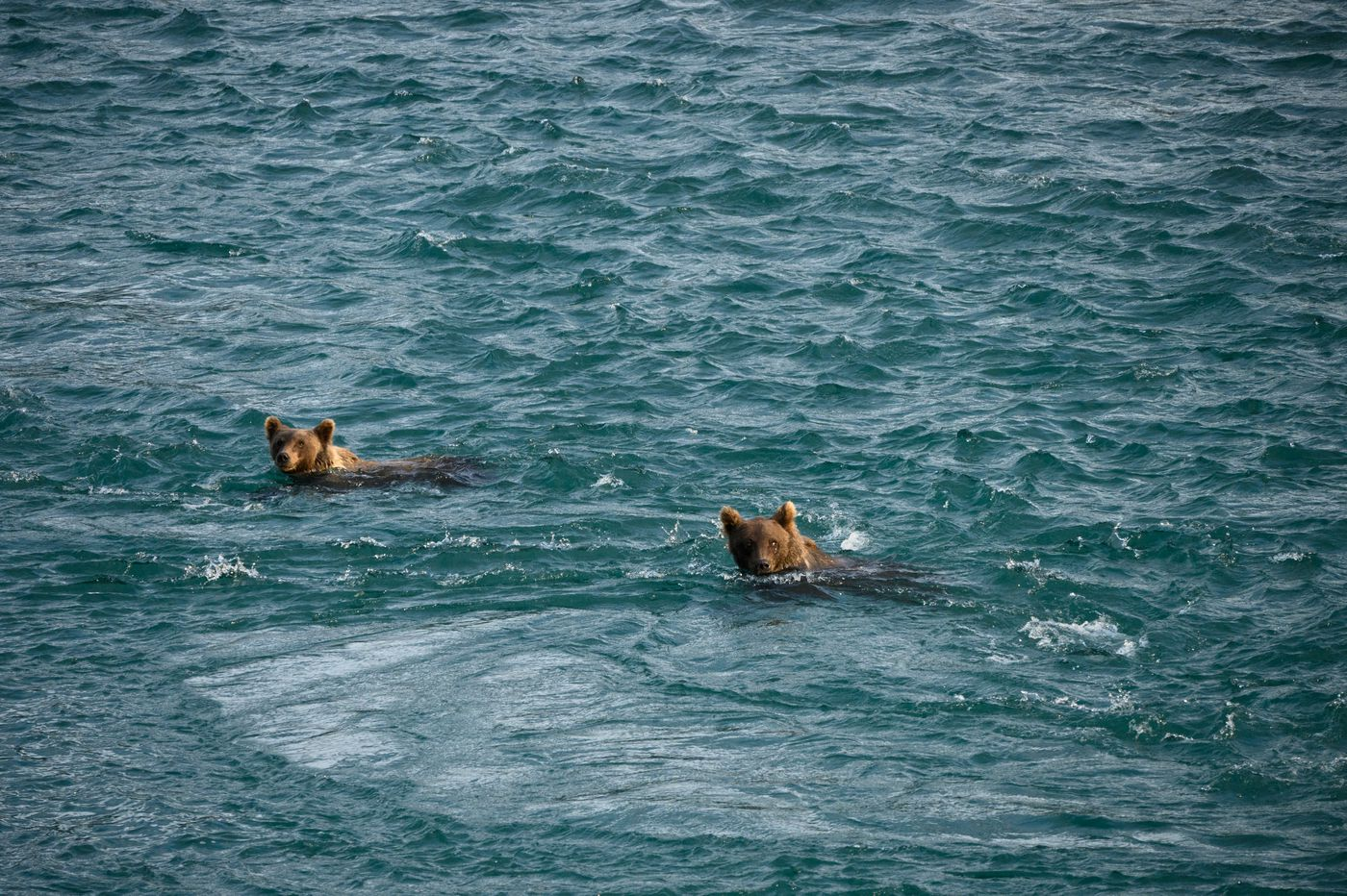 Two brown bear yearlings swam nearly all the way across the river before turning and heading back to a sow and another sibling bear. (Marc Lester / ADN)