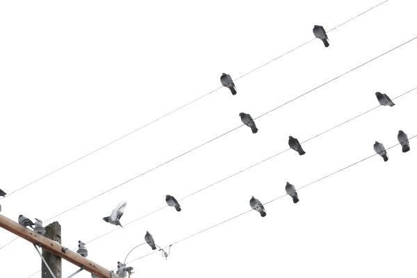 Pigeons flock together while perched on power lines in Government Hill on Monday, Feb. 4, 2019. (Bill Roth / ADN)