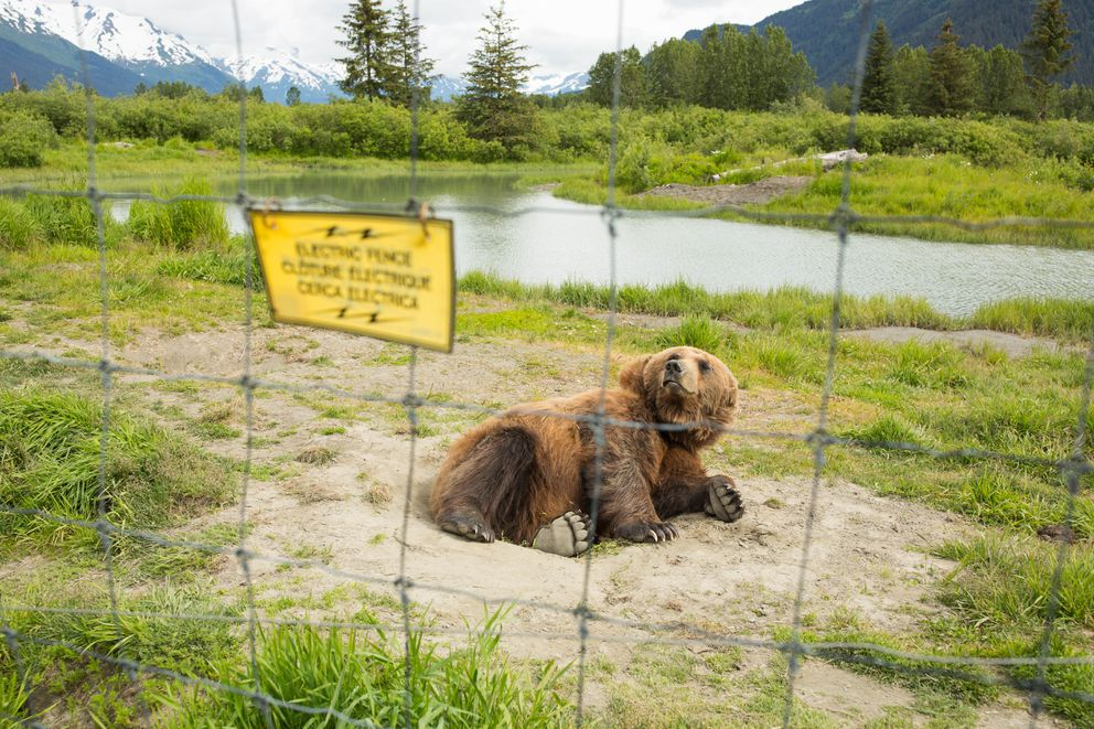 A brown bear rolls in dirt inside its enclosure at the Alaska Wildlife Conservation Center in Portage on Jun. 12, 2016. (Loren Holmes / ADN archive)