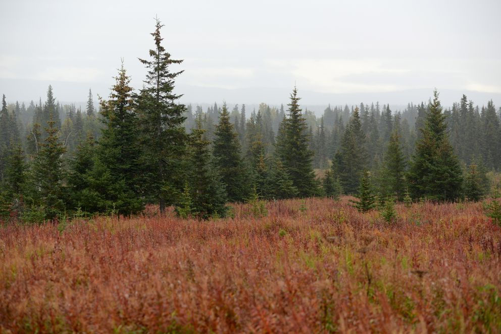 Fields of fireweed stretch along the Sterling Highway near Homer Sept. 15, 2020. With the cooler temperatures, the fireweed turns to colors from rust to deep red. (Anne Raup / ADN)