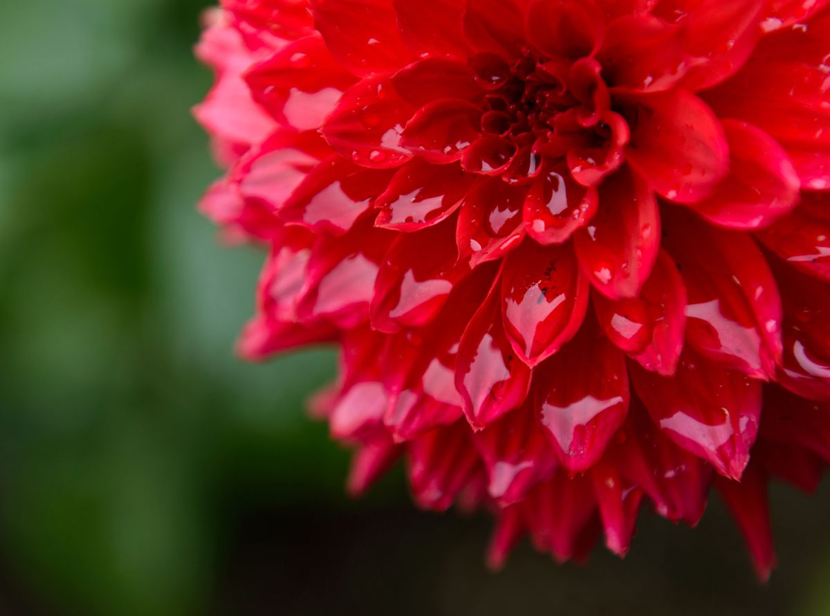 A dahlia collects rainwater in Town Square on Tuesday, May 27, 2014. It's peak time to pick up dahlia blooms at Anchorage farmers markets.  (Marc Lester / Anchorage Daily News)