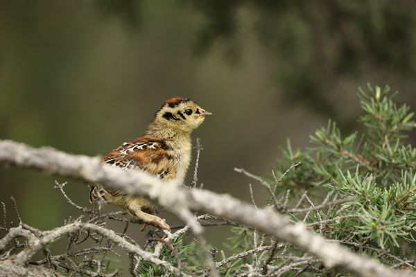 A recently hatched Spruce grouse chick, ready to take flight in June 2020. (Photo by Steve Meyer)