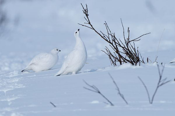 The trails of dozens of willow ptarmigan criss-crossed the snow at the base of Arctic Valley Ski Area on February 27, 2018. Willow ptarmigan, Alaska's state bird, turn from brown in summer to white in winter. (Marc Lester / ADN)