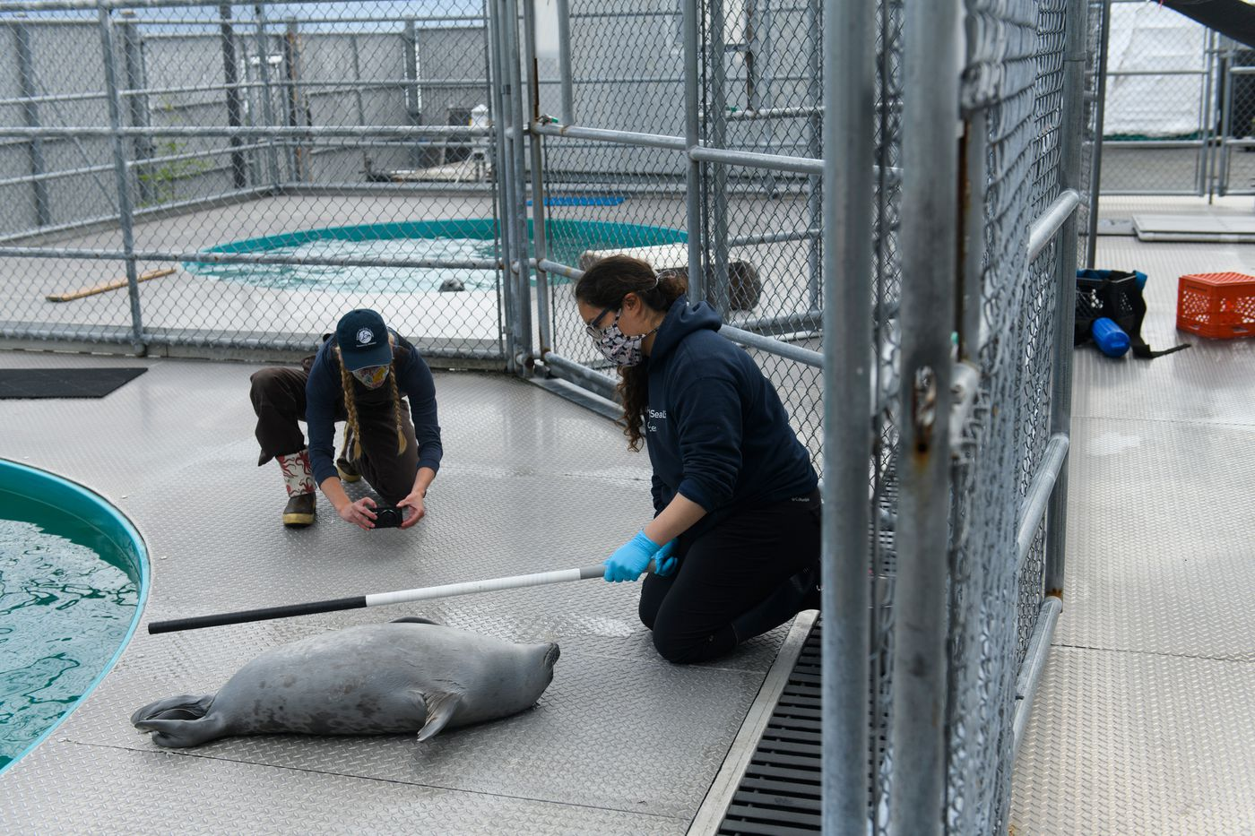 Research technician Madeline Meranda photographs a ringed seal while mammalogist Evelyn Lentz holds a reference pole on July 6, 2020 at the Alaska SeaLife Center. The seal is part of a University of California Santa Cruz-affiliated project to gather baseline biology and physiology data on ice seals. Activities pictured authorized by NMFS Scientific Research Permit #18902. (Marc Lester / ADN)
