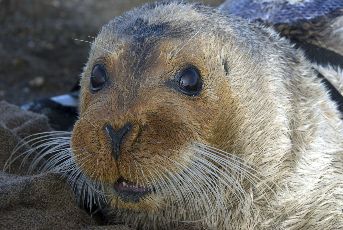 FILE - This Sept. 5, 2006, file photo provided by the National Oceanic and Atmospheric Administration shows a bearded seal in Kotzebue, Alaska. An environmental group is suing the federal government for failing to designate critical habitat for two ice seals on the threatened species list. The Center for Biological Diversity sued the National Marine Fisheries Service on Thursday, June 13, 2019, for not designating critical habitat for ringed and bearded seals. (Michael Cameron/NOAA Fisheries Service via AP, file)