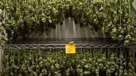Alaska marijuana tax revenue up again in August