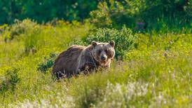 Man shoots grizzly that charged him near trail off Chena Hot Springs Road, troopers say