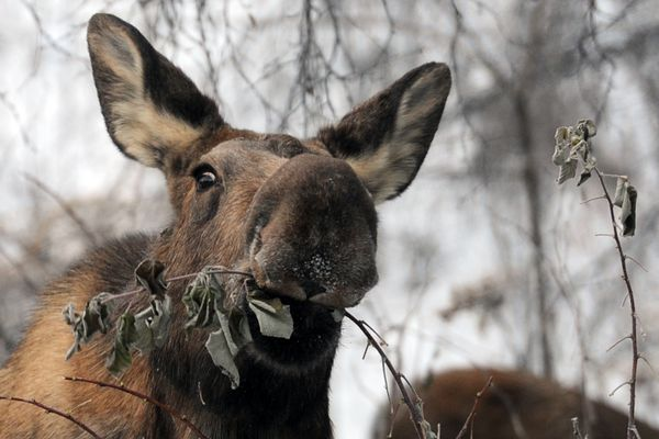 A cow moose feeds on raspberry bushes at the very end of West 13th Avenue on Monday, Dec. 5, 2016, next to Alaska Railroad tracks. Two calves kept her company. (Erik Hill / Alaska Dispatch News)
