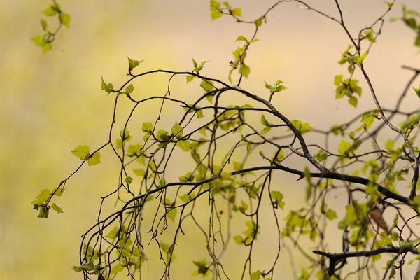 New birch leaves start to sprout near Potter Marsh on Wednesday, May 6, 2015. (Bob Hallinen / ADN)