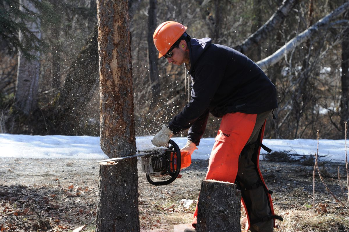 Jerid Blair with Palmer DOT cuts down a spruce bark beetle killed tree in the South Rolly Lake Campground on Wednesday, May 1, 2019. (Bill Roth / ADN)
