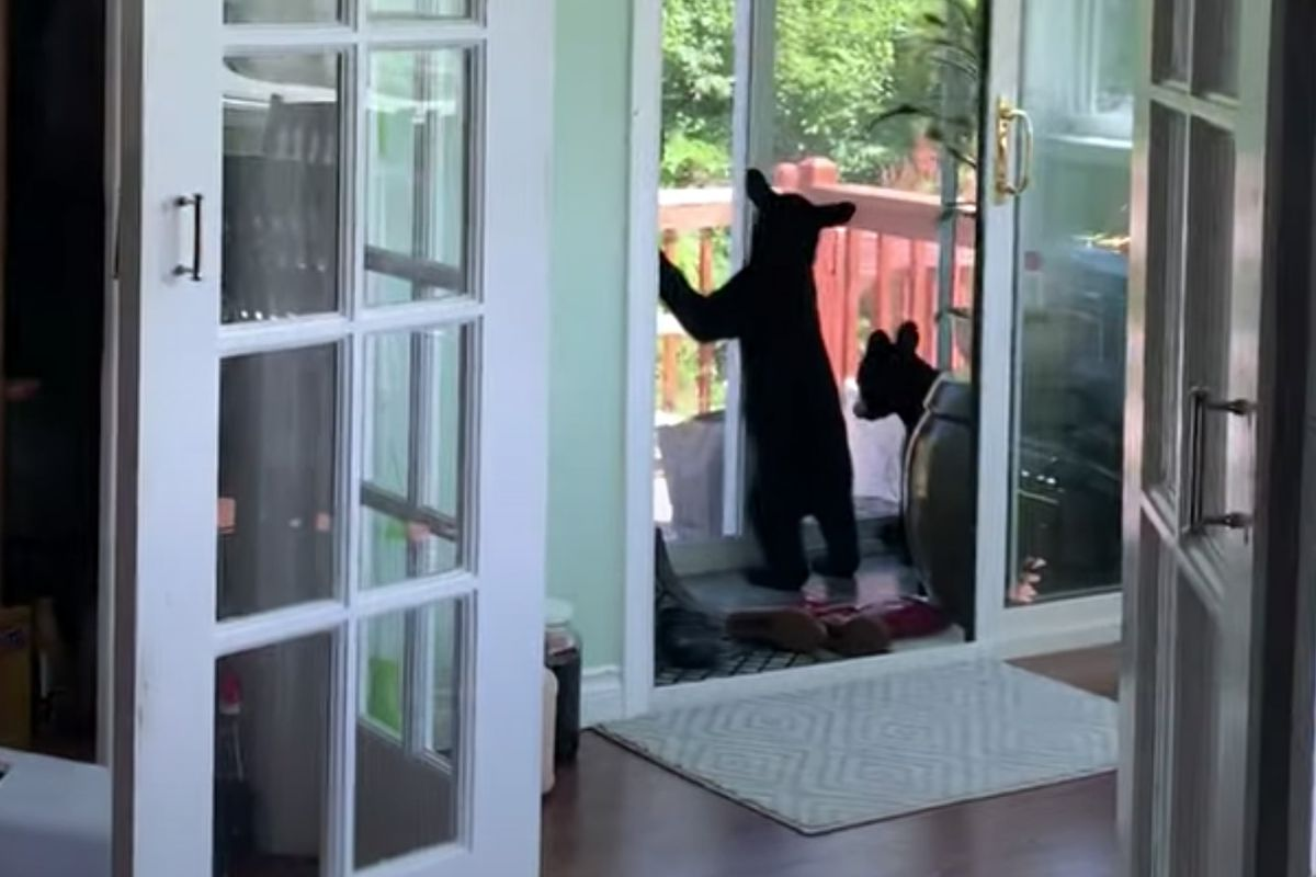 The cubs try to get out the closed door. One of the cubs managed to slide the door open and they left the house. Three black bear cubs were briefly trapped inside an Anchorage Hillside home Thursday, July 23, 2020. (Screenshot of video made by Yulim Kim)