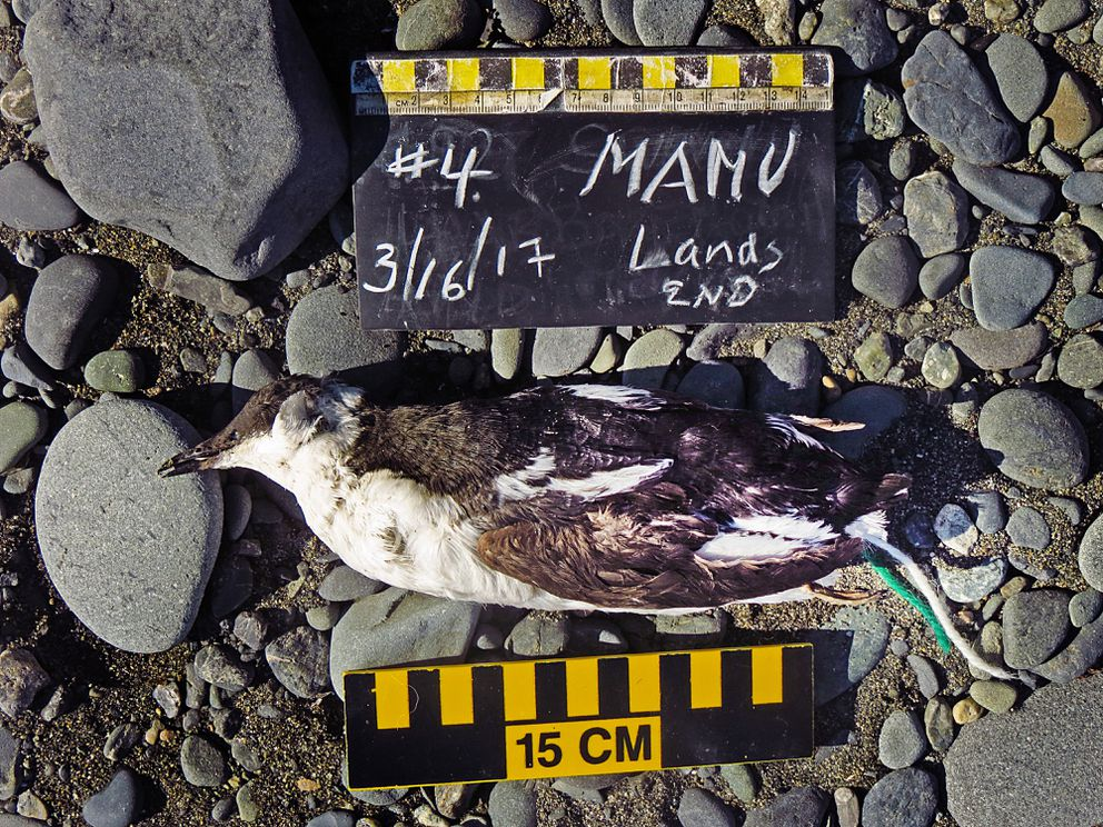 Volunteers found this marbled murrelet washed up on the Homer Spit in March. (Clark Fair)