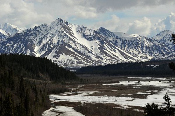 A grizzly bear walks on the ice on the Teklanika River as the mountains of the Alaska Range rise behind along the park road in Denali National Park on Saturday, May 13, 2017. (Bob Hallinen / Alaska Dispatch News)