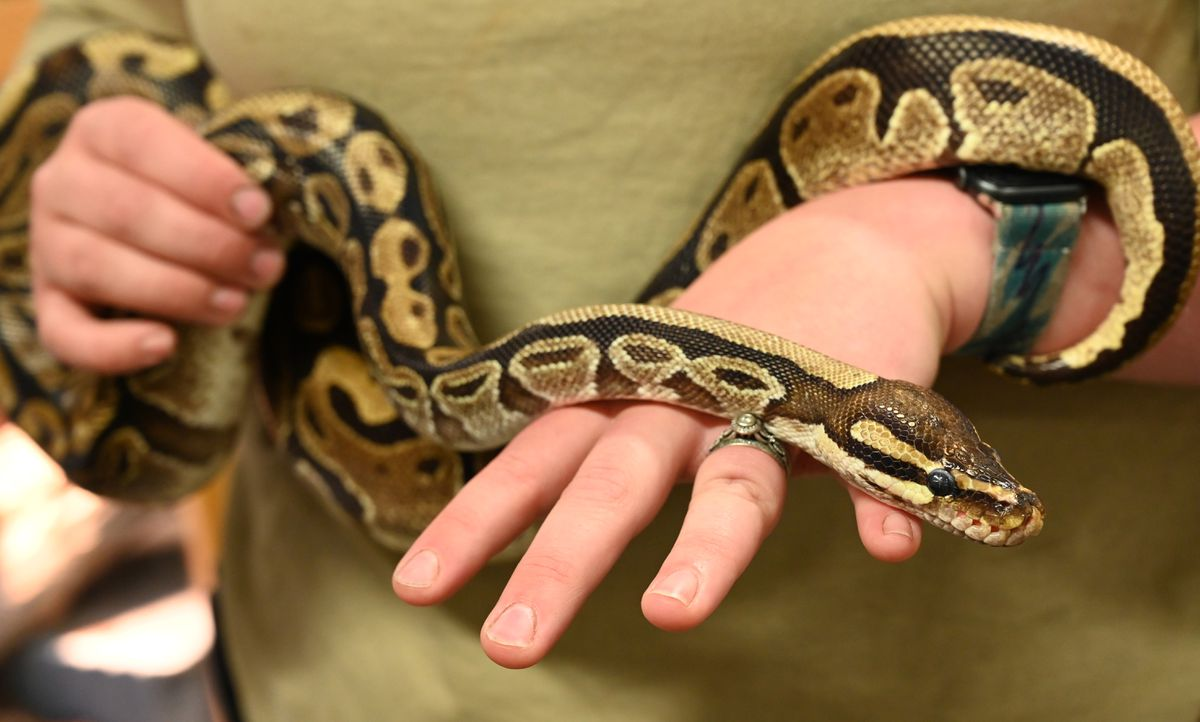 36-year-old ball python Yaz is held by snake zookeeper Alyssa Allen at the Alaska Zoo on Monday. (Anne Raup / ADN)