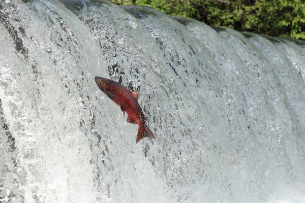A king salmon that has returned to Ship Creek to spawn attempts to leap over a waterfall near the William Jack Hernandez Sport Fish Hatchery on Thursday, July 7, 2016. Dozens of Chinook salmon in spawning colors can be seen holding in the flowing waters from viewing areas next to the hatchery. Hundreds of returning chinook salmon will be used as broodstock at the hatchery completing a cycle of life. (Bill Roth / Alaska Dispatch News)