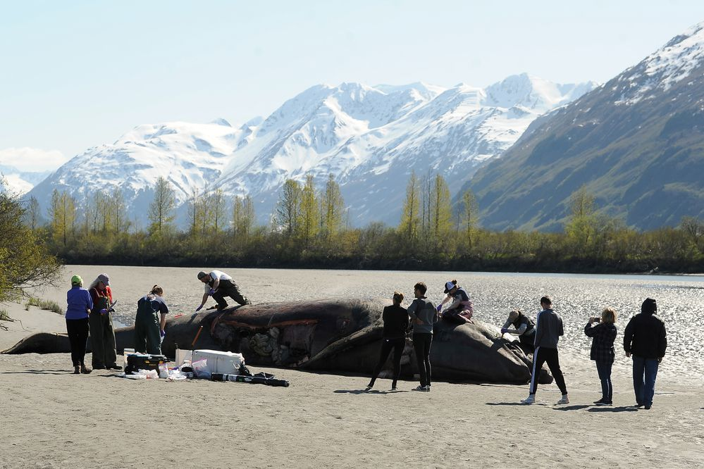 Kathy Burek Huntington, with Alaska Veterinary Pathology Services, UAA grad students and Barbara Mahoney, with the National Marine Fisheries Service take samples from a dead gray whale washed up on the mud at Placer River at the head of Turnagain Arm on Tuesday May 21, 2019. (Photo by Bob Hallinen)