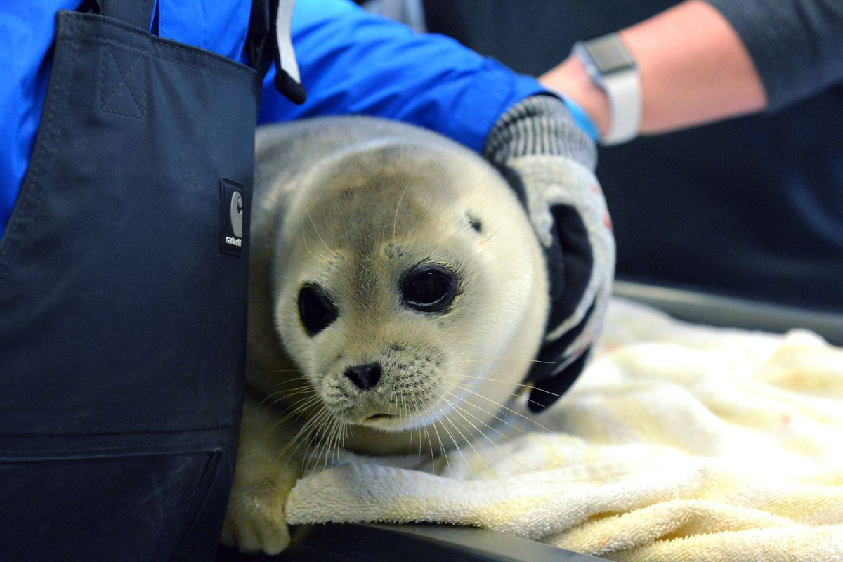 This yearling ringed seal was rescued off Unalaskain 2017and treated at Alaska SeaLife Center. (Alaska SeaLife Center)