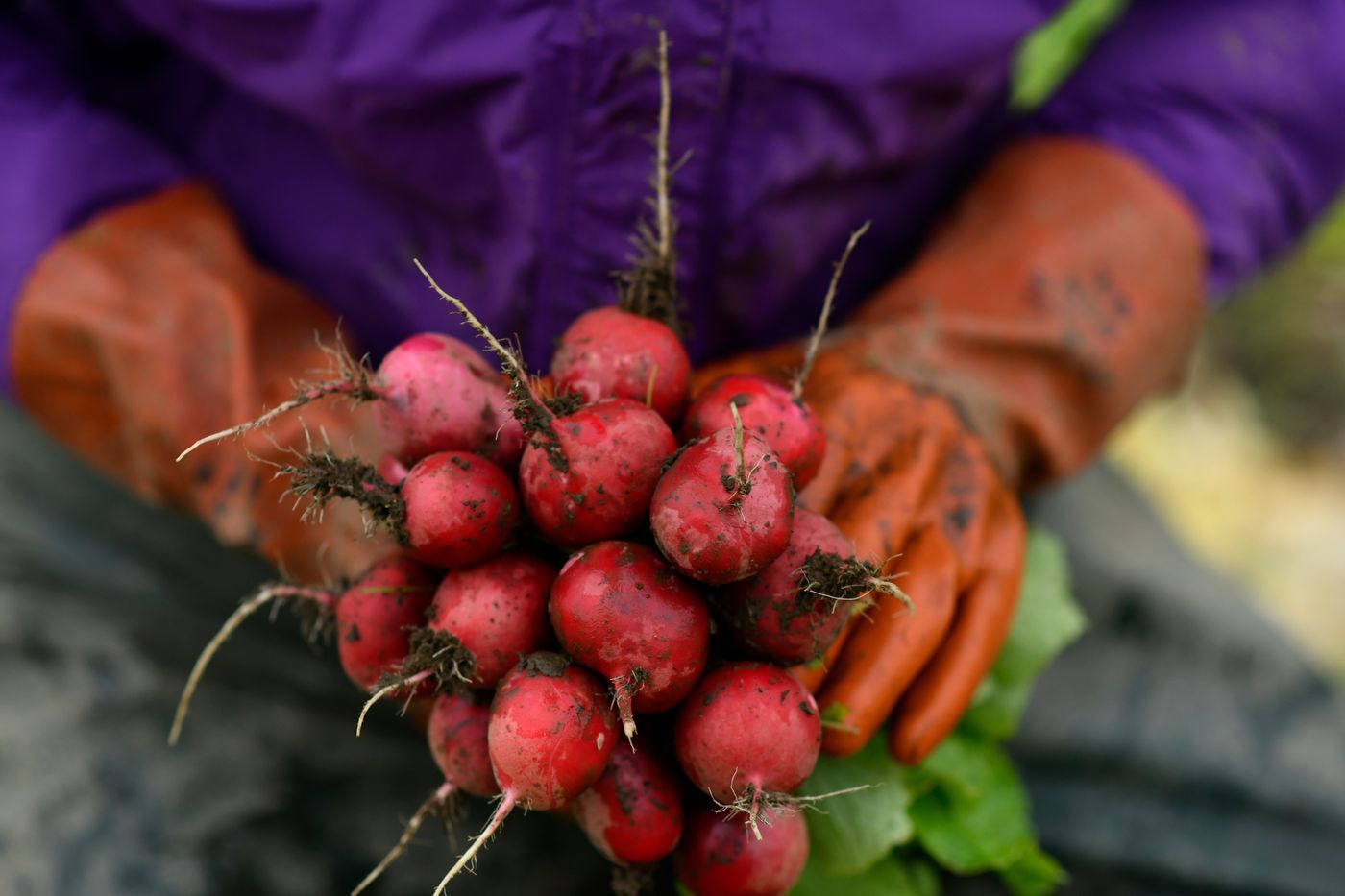 Erin Shepard bunches radishes together while harvesting at Sun Circle Farm. (Marc Lester / ADN)