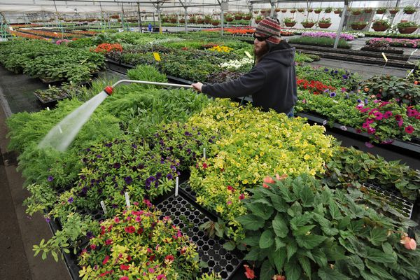 Working foreman Chris Elander waters plants at the city's Mann Leiser Memorial Greenhouses at Russian Jack Springs Park on Tuesday, April 10, 2018. The first batch of seedlings were started around Christmas and New Years with the last of the 73,000 plants started a couple weeks ago. Hanging baskets will be the first flowers to be installed downtown around Memorial Day depending on the weather. (Bill Roth / ADN)