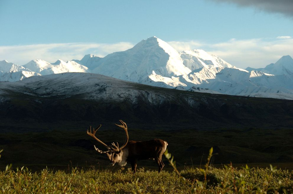 A bull caribou grazes on the tundra of Denali National Park in 2006. (Bob Hallinen / ADN)