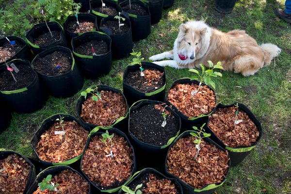 Paul Lariviere's collie, Gidget, rests near potted trees. Volunteers tended to fruit trees near the site of Government Hill Commons, a park project in development along Erickson Street in Government Hill on May 23, 2017. Steve Gerlek, vice president of the group of residents that formed to repurpose the space that had been cleared for a proposed Knik Arm bridge, said 200 apple, pear and cherry trees will be planted on the site. (Marc Lester / Alaska Dispatch News)