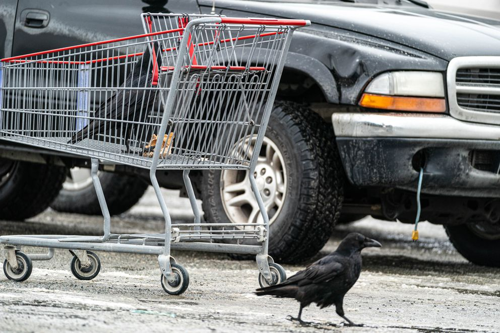 A raven investigates the contents of a shopping cart while another walks by on the ground in a Costco parking lot on Wednesday, March 24, 2021 in South Anchorage. People have been sharing stories on social media of ravens stealing food from their carts while they load groceries into their vehicles. (Loren Holmes / ADN)