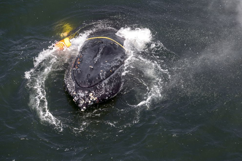 FILE - This undated file photo provided by the National Oceanic and Atmospheric Administration shows a humpback whale entangled in fishing line, ropes, buoys and anchors in the Pacific Ocean off Crescent City, Calif. (Bryant Anderson/NOAA via AP, File)