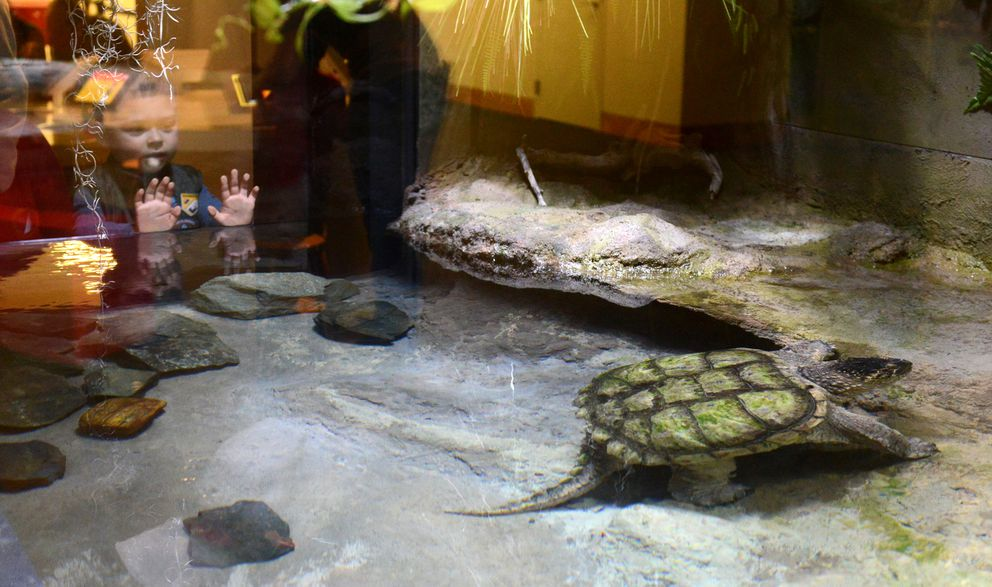 Collings Vilmont looks at Chomper, the Anchorage Museum's common snapping turtle, in his renovated space on Thursday. (Bob Hallinen / Alaska Dispatch News)