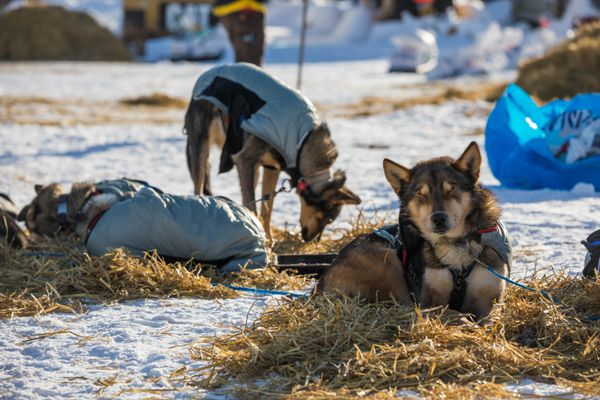 DOS, a dog in Cody Strathe's team, naps in the sun Saturday, March 10, 2018 in Grayling. (Loren Holmes / ADN)