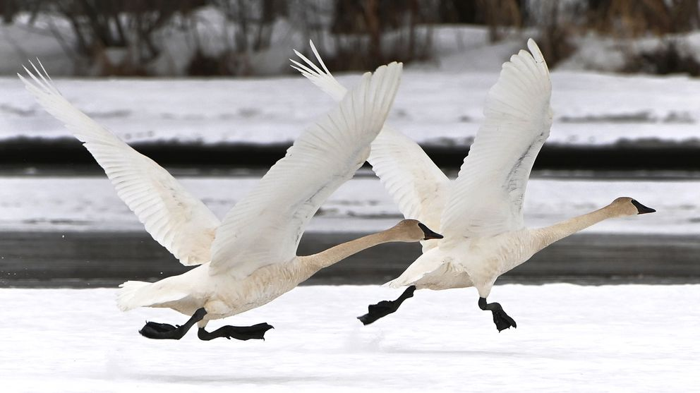 Trumpeter swans get a running start as they take flight from snow at Westchester Lagoon on April 11, 2021. (Bill Roth / ADN)