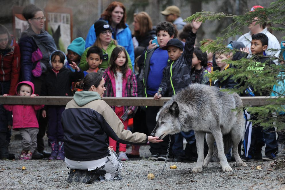 Alaska Zoo education director Stephanie Hartman feeds a snack to a gray wolf named Denali on March 30, 2016, as schoolchildren watch. (Bill Roth / ADN)