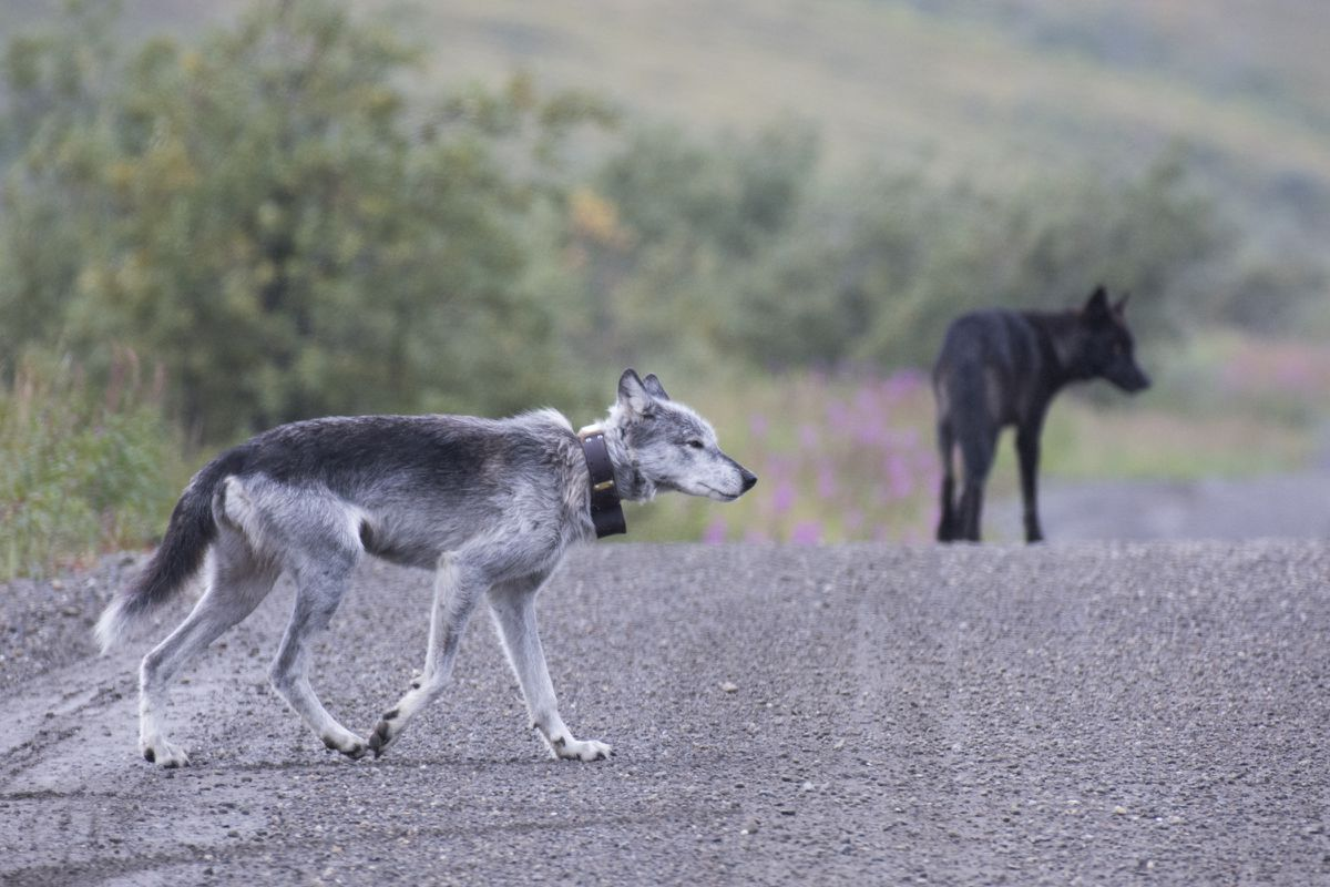 Riley the wolf on the Denali Park Road with one of her packmates in 2017. (National Park Service photo)