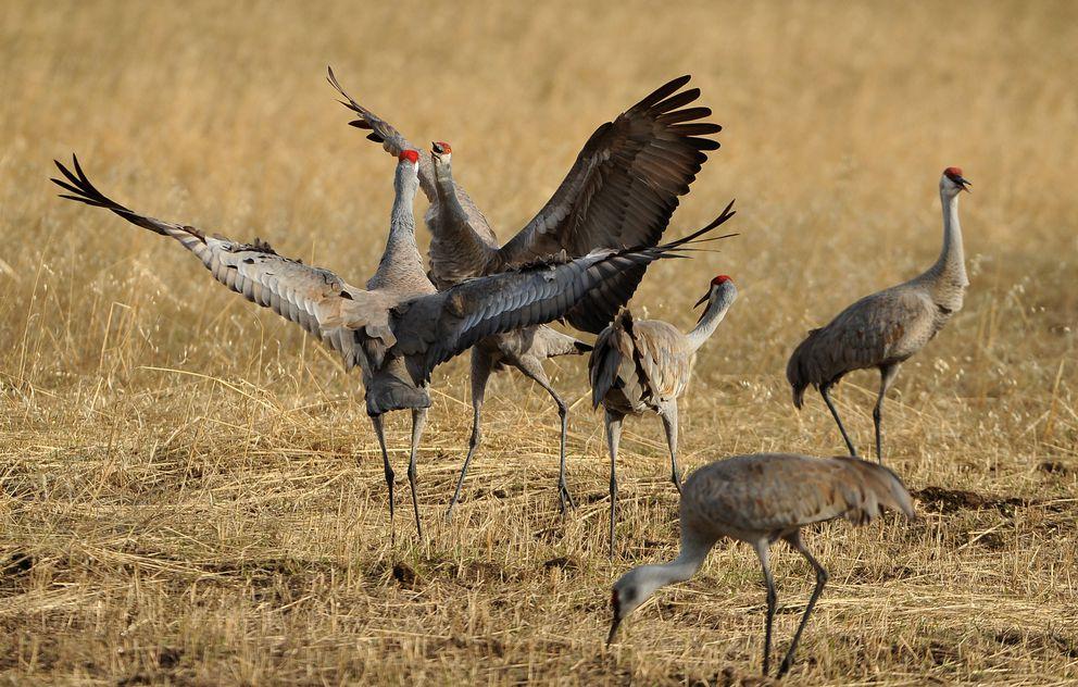 Sandhill cranes interact near Palmer. (Bob Hallinen / ADN)