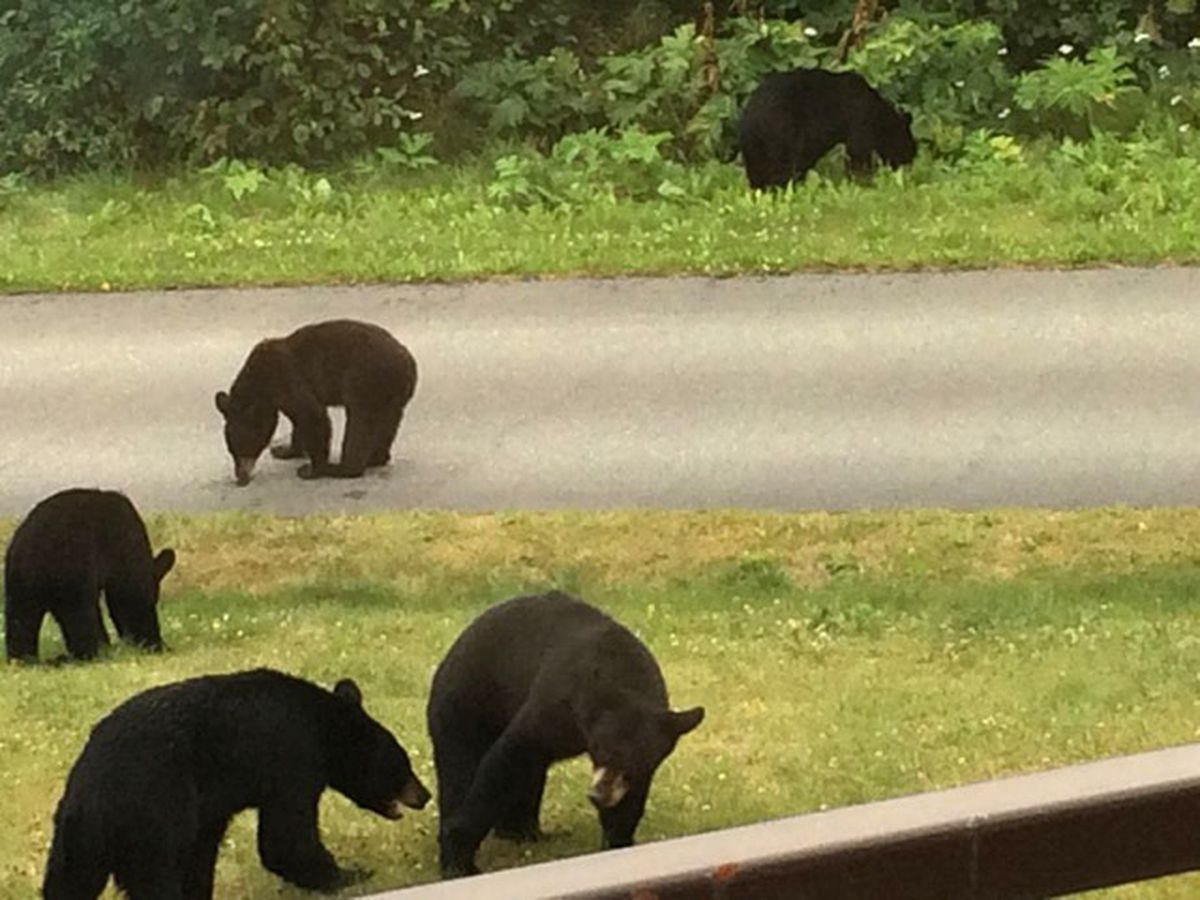 Six black bears ate clover and other foods in a yard near Goldenview Middle School on Friday. (Photo by Beverly Burns)