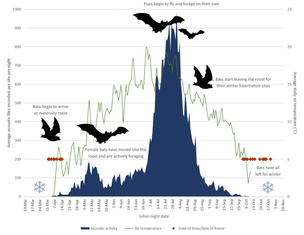 Biologist Jesika Reimer of Taiga Wildlife Research in Anchorage created this graphic showing the summer activity of little brown bats in northern Alaska. (Jesika Reimer)