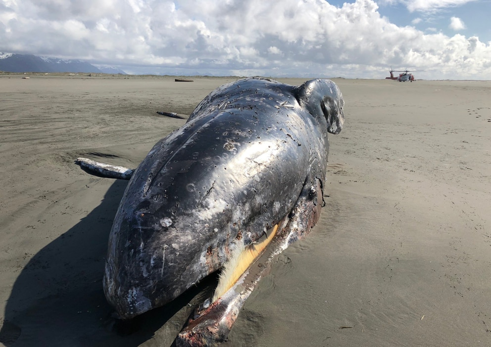 Marine mammal biologists from the National Oceanic and Atmospheric Administration on Sunday, May 19, 2019, performed a necropsy on a gray whale carcass beached near Cordova. (U.S. Coast Guard photo)