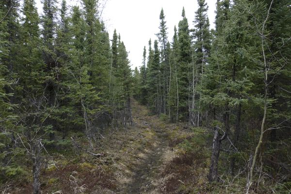 Black spruce is dominant along the Seven Lakes Trail in the Kenai National Wildlife Refuge. (Lisa Maloney)