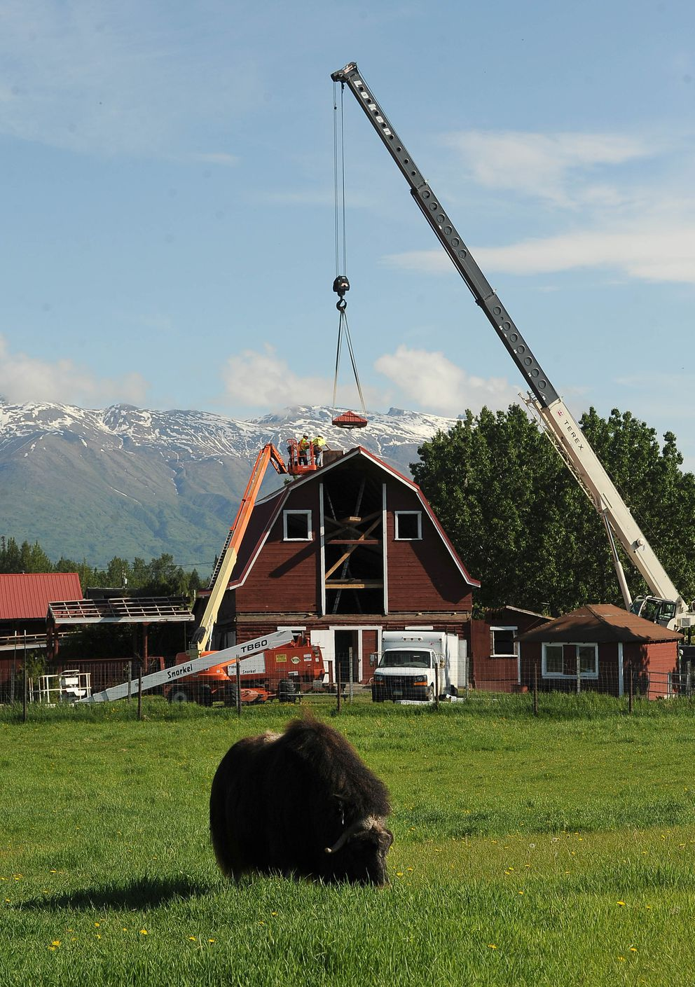 A musk ox grazes in a field as the top of the barn roof cupola is lifted. (Photo by Bob Hallinen)
