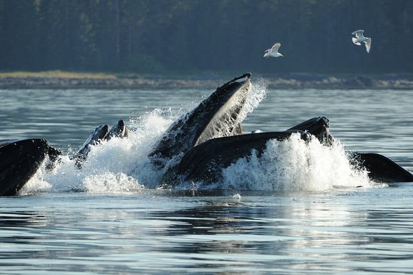 A group of humpback whales bubble feed in Frederick Sound off of Kupreanof Island north of Petersburg, AK on Saturday, July 21, 2018. (Bob Hallinen / ADN)