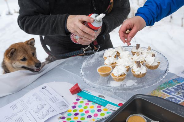 Cricket, a 1-year-old shiba inu, watches as his owner Gabrielle Poon, right, and Joan Travostino put whip cream and dog treats on peanut butter cupcakes Saturday at Kincaid Park during Cricket's birthday party. (Loren Holmes / ADN)