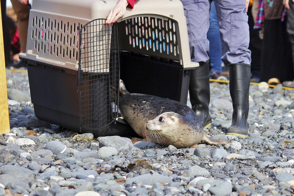 Young harbor seals are released into Kachemak Bay after rehabilitation at the Alaska SeaLife Center