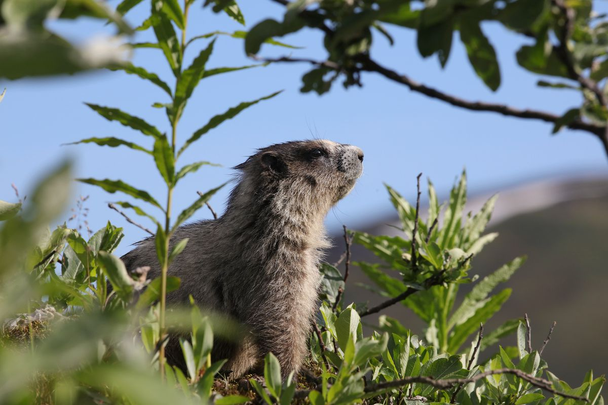 The hoary marmot is also known as a