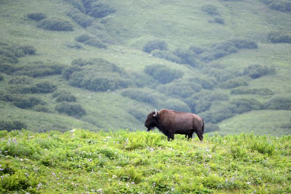 A bison stands on a ridge near the rest of the herd on Pasagshak Road, Saturday, July 15, 2017. The Kodiak Game Ranch and Cattle Company has been raising bison, cattle and other livestock since 1967 in the Pasagshak Bay area. (Anne Raup / Alaska Dispatch News)