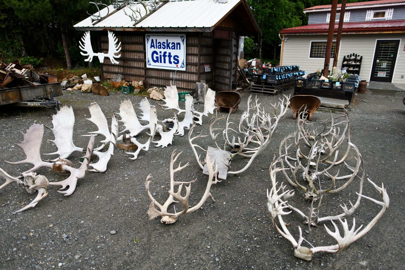 Antlers are displayed in front of Alaska Horn and Antler on the Sterling Highway in Soldotna. (Marc Lester / ADN)