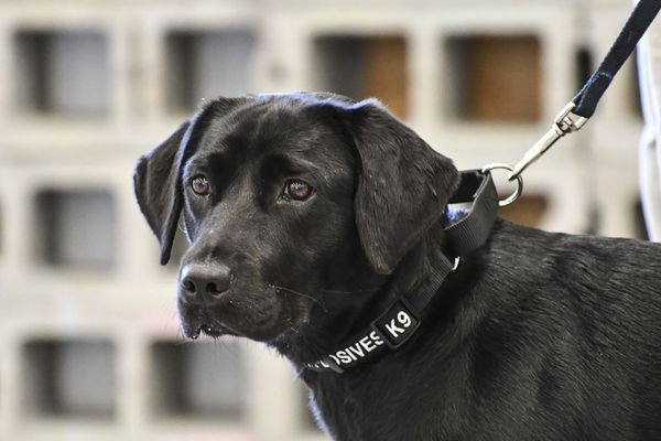 In an undated handout photo, Lulu, a Labrador retriever. Lulu did not make it out of her CIA training class for sniffing explosive odors and was adopted by her handler. (CIA via The New York Times) -- EDITORIAL USE ONLY --