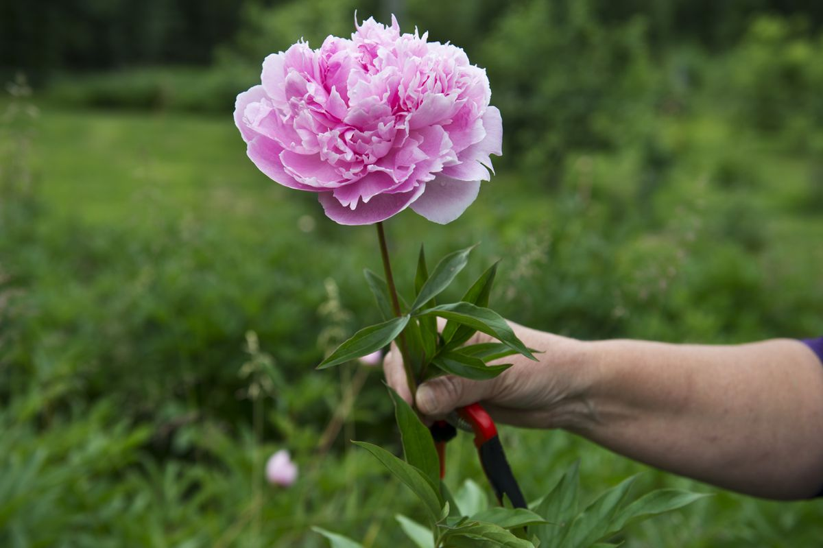Barbara Henjum holds a Sarah Barnhardt variety of peony that she cut at Brown Hen Farm on July 17, 2018. (Marc Lester / ADN)