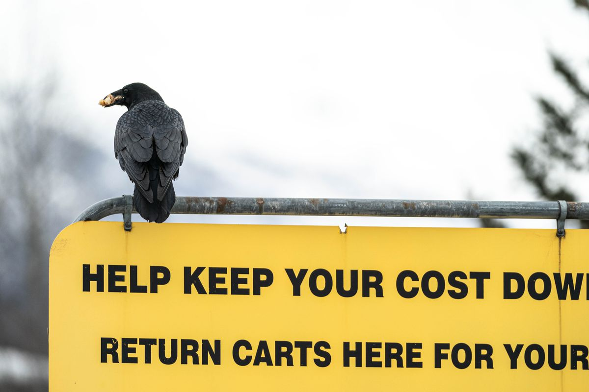 A raven carries food in its beak as it sits atop a sign in a Costco parking lot on Wednesday, March 24, 2021 in South Anchorage. People have been sharing stories on social media of ravens stealing food from their carts while they load groceries into their vehicles. (Loren Holmes / ADN)