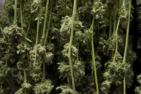 """Marijuana dries at Great Northern Cannabis on Septmber 6, 2017. Harvest season comes every couple weeks at the Great Northern Cannabis growing facility in South Anchorage. On Sept. 6, employees cut and trimmed plants for drying while hundreds of pots were moved into flowering rooms. Jordan Huss, vice president, said the company began growing in February and had its first harvest in May. Though the company is now in the rhythm of perpetual harvesting, it'll take time before it's profitable considering the investment it took to get this far, he said. """"We're not looking at this as a get-rich-quick scheme. We're looking at this for longevity.""""on September 6, 2017. (Marc Lester / Alaska Dispatch News)"""