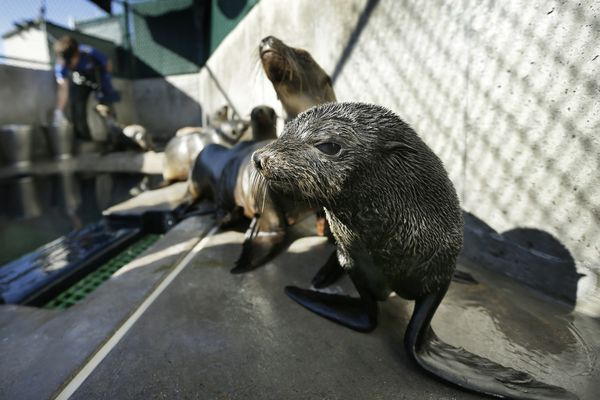 """FILE - In this Tuesday, Feb. 26, 2013 file photo, a Guadalupe fur seal, foreground, passes by as SeaWorld animal rescue team member Heather Ruce feeds a California sea lion at a rescue facility in San Diego, with rescue crews seeing a higher than average amount of stranded sea lions. Marine biologists nicknamed a patch of persistent high temperatures in the Pacific Ocean between 2013 and 2016 """"the Blob."""" During that period, decreased phytoplankton production led to a """"lack of food for many species,"""" from fish to marine mammals. (AP Photo/Gregory Bull)"""