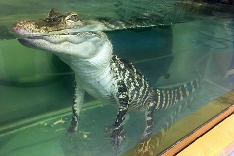 An alligator is being housed at the Valley Aquatics and Reptile Rescue in Meadow Lakes, October, 17, 2017. (Zaz Hollander / Alaska Dispatch News)